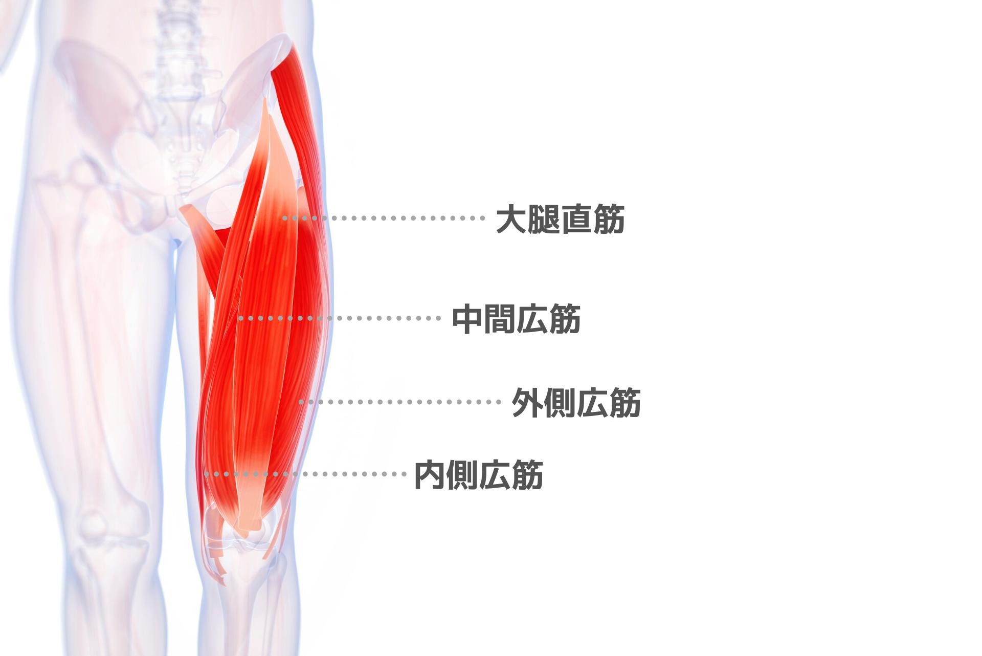 太ももの前側の筋肉「大腿四頭筋」の鍛え方。おすすめ筋トレメニューと効果を高めるポイント | トレーニング×スポーツ『MELOS』