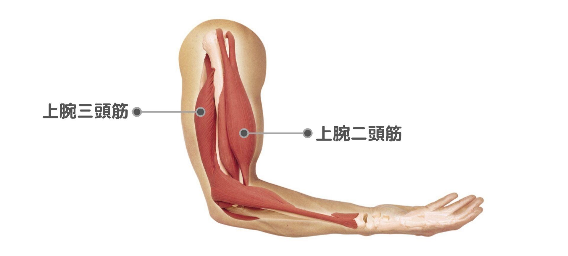 上腕 三 頭 筋 上腕三頭筋の作用と役割(起始停止・神経支配・筋トレメニューなどを...