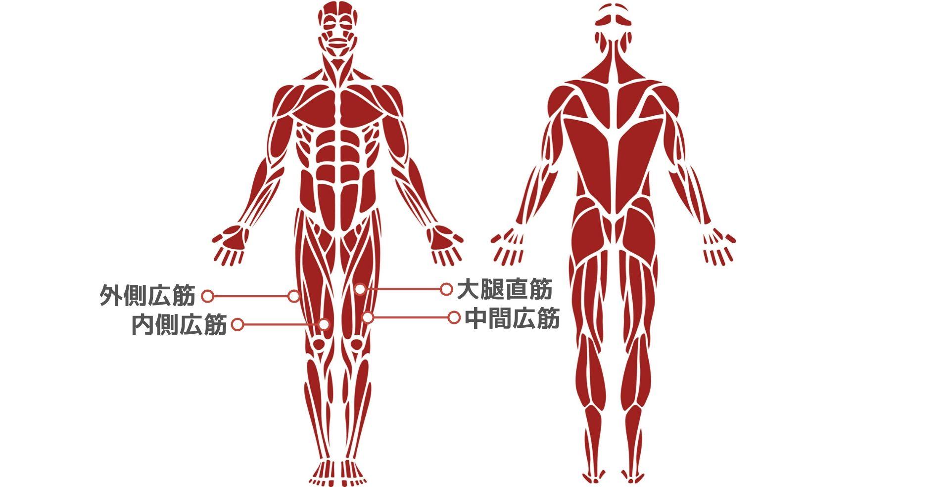 筋トレ初心者向け「下半身」の筋肉解説│大臀筋、大腿四頭筋、ハム ...